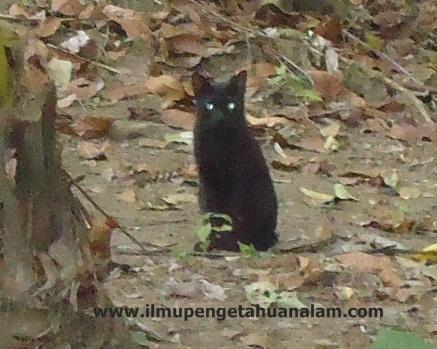 Mata kucing cluatk liar bersinar walau di siang hari