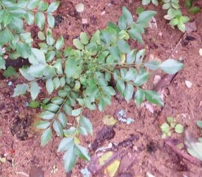 Curry Leaves (Kadi Patta) for Stronger Hair