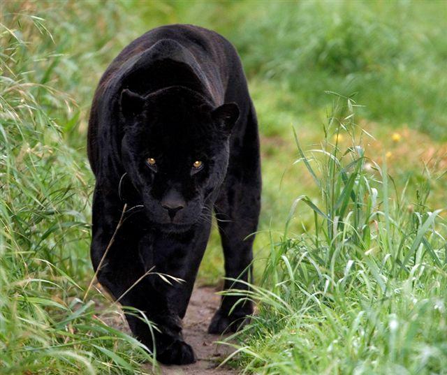 Black Panther - Stock Image