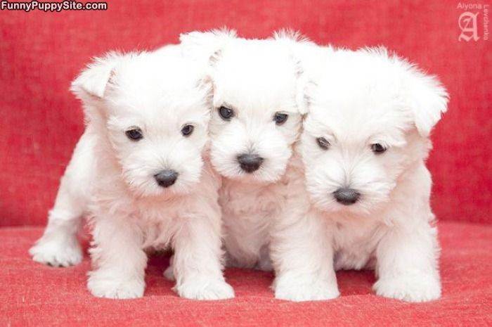 Cute Babies Good Morning Wallpapers Latest Wallpapers Cute White Puppies