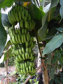 jual pisang cevendish bantul