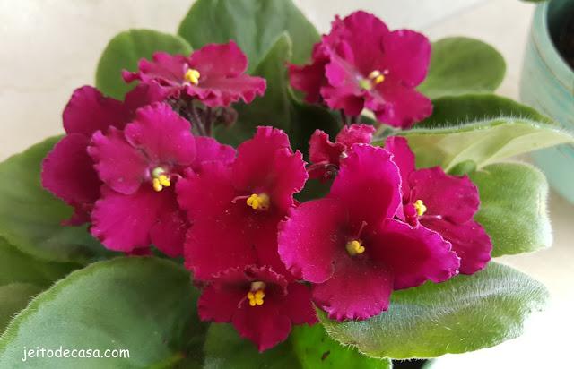 belas-violetas-flores