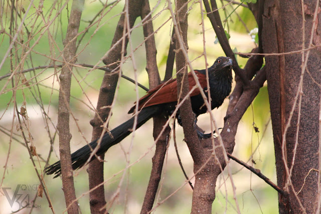 Greater Coucal(48 cm) - Davangere