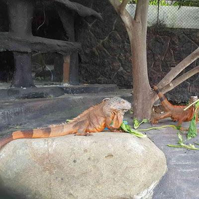 Spot Kandang Hewan Iguana