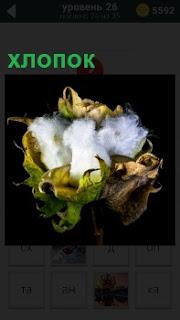 В обрамлении старых пожелтевших листьях лежит белый хлопок в качестве образца