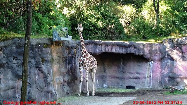 The Oregon Zoo - Giraffe
