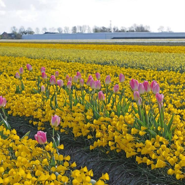 Algunos tulipanes 'Dynasty' perdidos entre un campo de narcisos 'Hoop Petticoat'