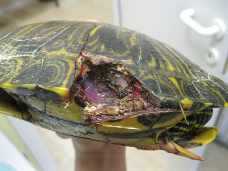 Allevamento amatoriale tartarughe acquatiche dalle for Tartarughe vaschetta