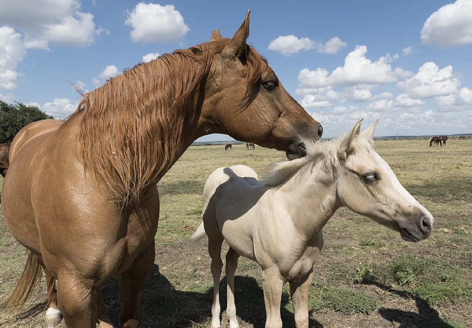 Quarter Horses, Colt, Mare, Ranch, Animaux