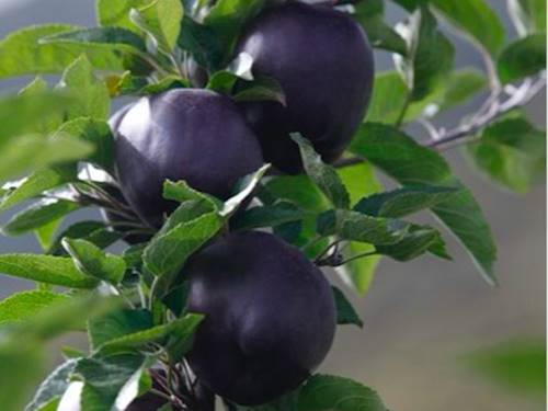 Black diamond apples belong to the Hua-Niu variety also known as Chinese Red Delicious