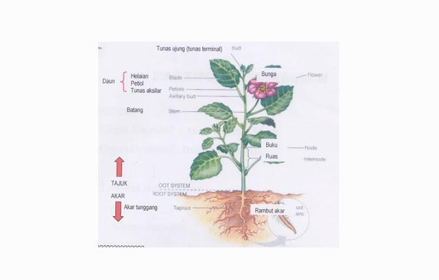 Pengertian, Ciri, Struktur dan Klasifikasi Tumbuhan Dikotil