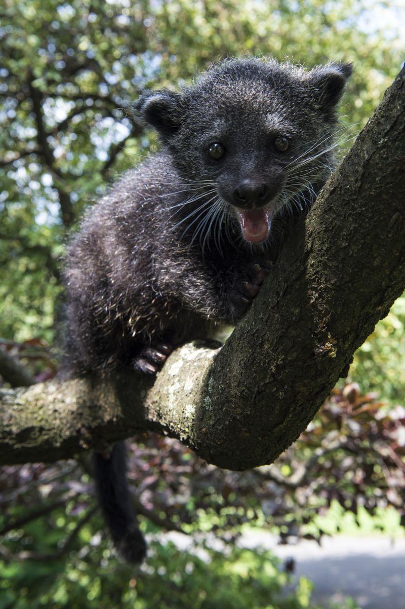 Baby Animals: Baby Binturong 6