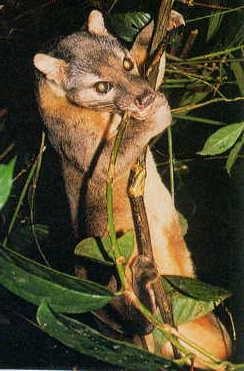 9 jenis musang khas pulau di indonesia