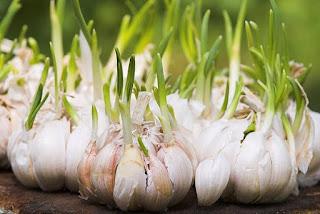Tips Cara Mengobati Kencing Nanah Dengan Bawang Putih