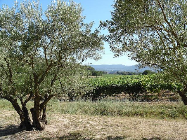 Prowansja, drzewo oliwne
