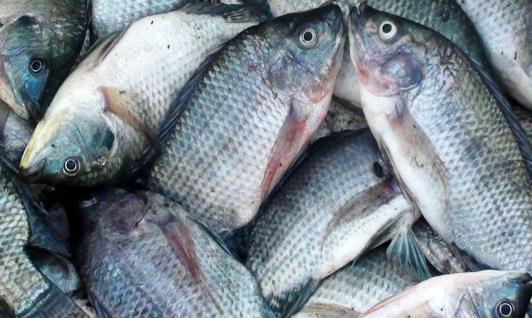 Ikan Gurame Untuk Kecerdasan Otak
