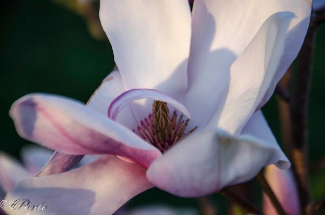 Магнолия-Magnolia
