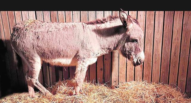 Apalean al burro del belén viviente de Cuevas del Almanzora