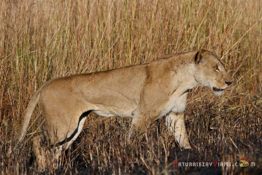 León en Kafue, Zambia