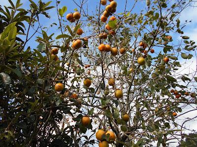 たわわに実った渋柿