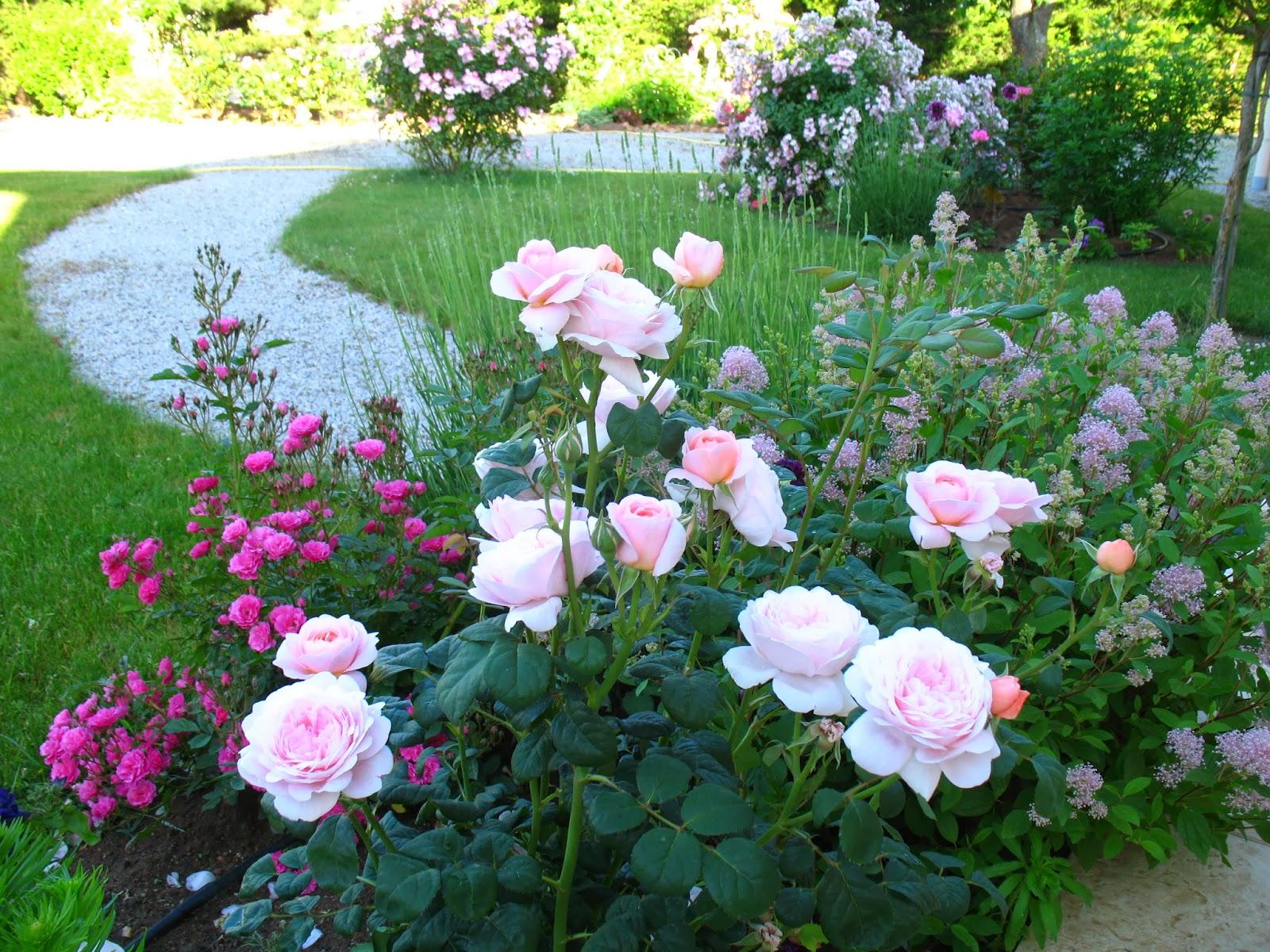 roses du jardin ch neland croissance du rosier queen of sweden. Black Bedroom Furniture Sets. Home Design Ideas