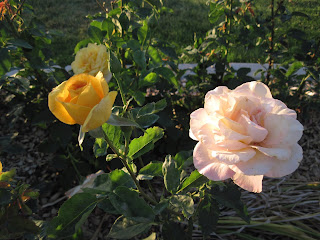 Bright yellow roses and pale pink rose.