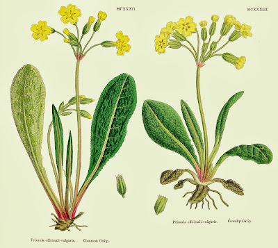 Botanical illustration of cowslip and primrose