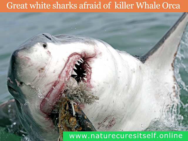 Great white sharks afraid killer whale Orca