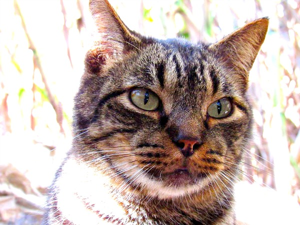 pretty tabby cat