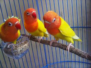 Burung Lovebird - Kayu Tangkringan  Yang Membantu Burung Lovebird Dalam Kawin - Penankaran Burung Lovebird