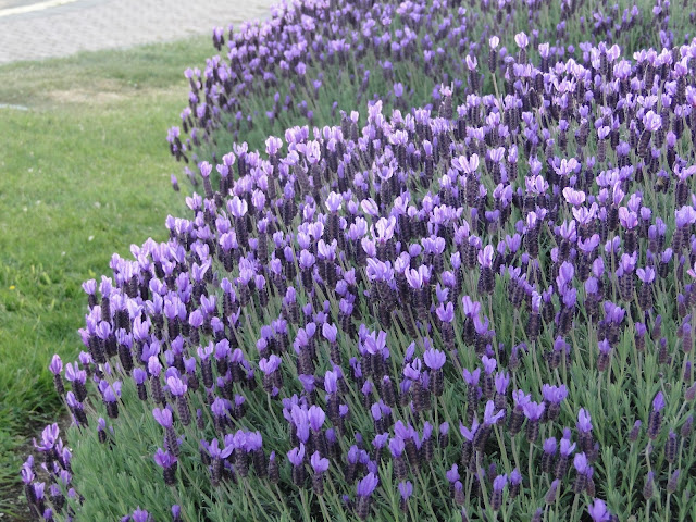 lavender at The Camellia