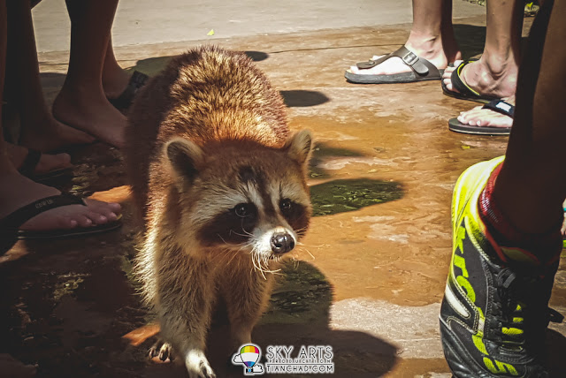 A racoon with the name called Tiger spotted at Lost World of Tambun