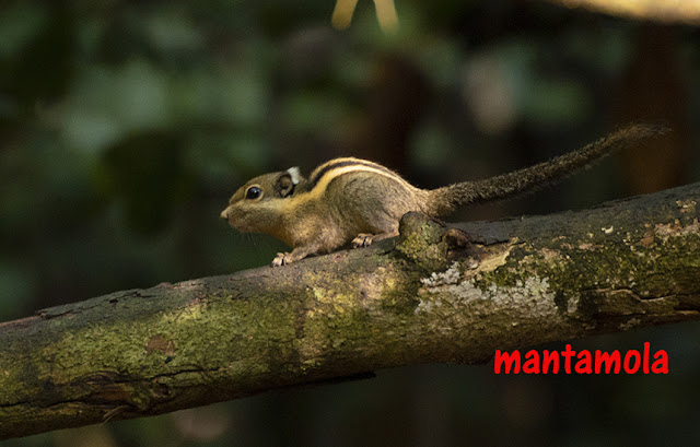 Western striped squirrels (Tamiops mcclellandii)