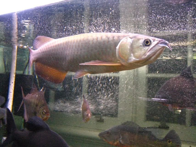 gambar, foto Nama Latin Ikan Arwana Dan Jenis Jenisnya Scleropages leichardti