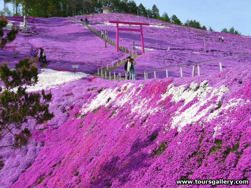 Japan Garden Flowers: The Carpet Of Flowers;Shibazakura(Moss Pink) Hill Blossom