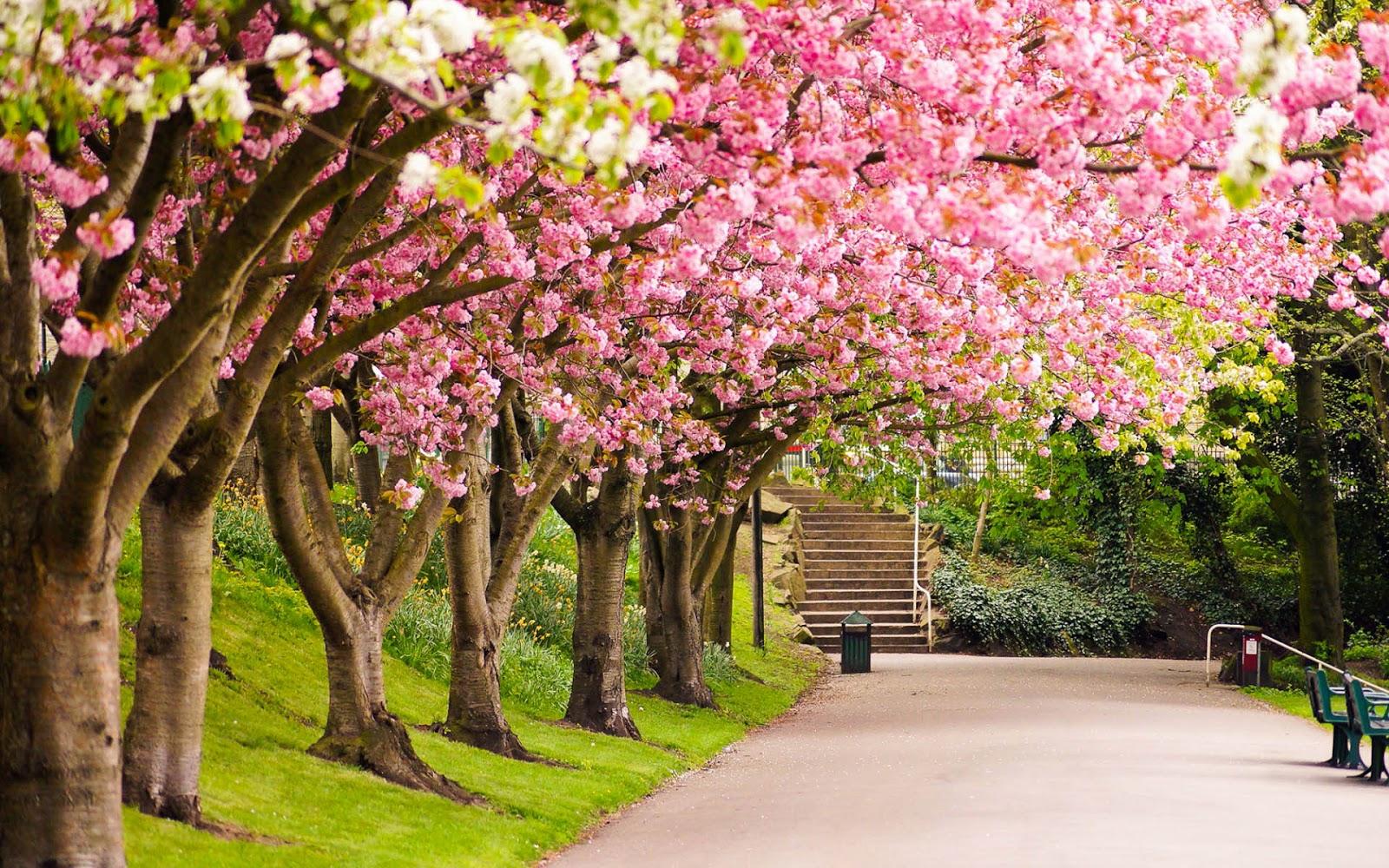 Roze lente bloesem aan de boom