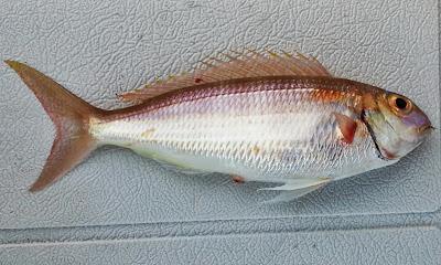 Notchedfin Threadfin Bream, Nemipterus peronii