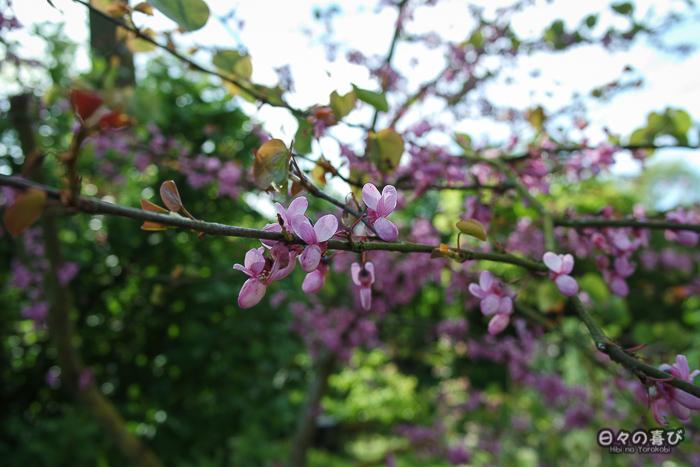 jardin japonais musica nigella, arbre fleuri