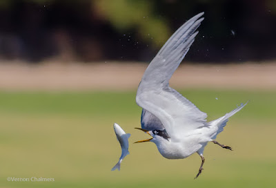 Swift Tern in Flight  - Woodbridge Island, Cape Town