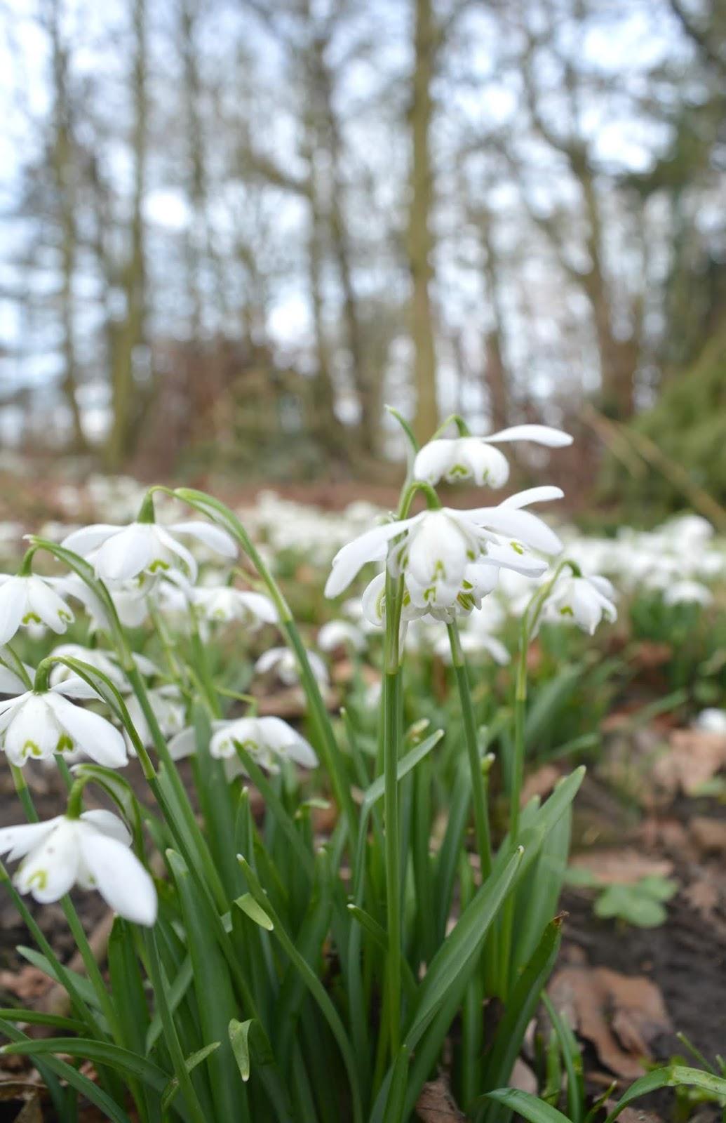 Belsay Castle - Snowdrops