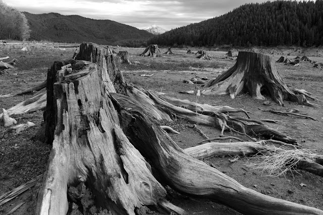 Black and white tree stumps
