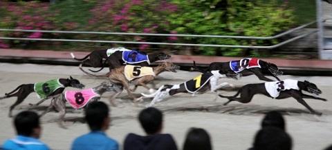 Tỷ lệ cá cược của đua chó gần giống với đua ngựa