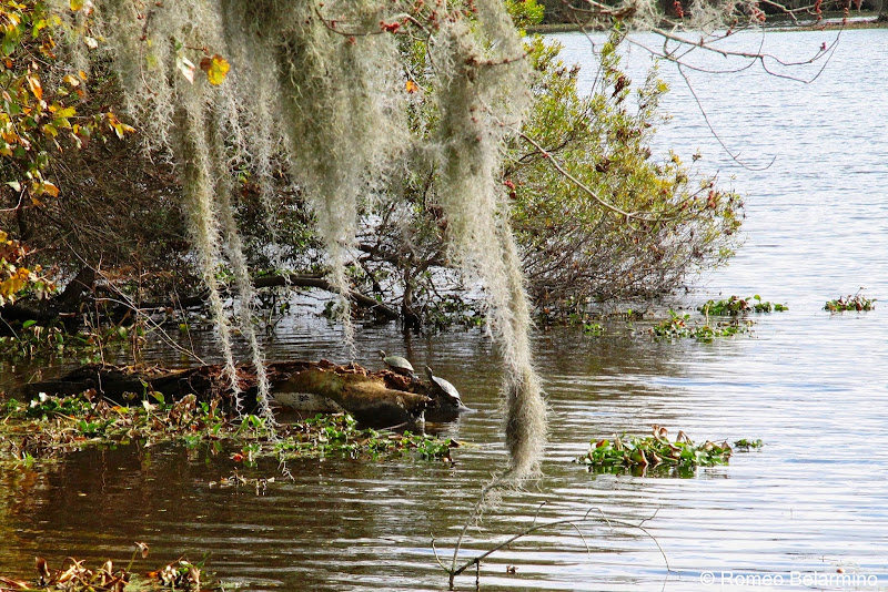 Turtles and Cascading Spanish Moss New Orleans Swamp Tour