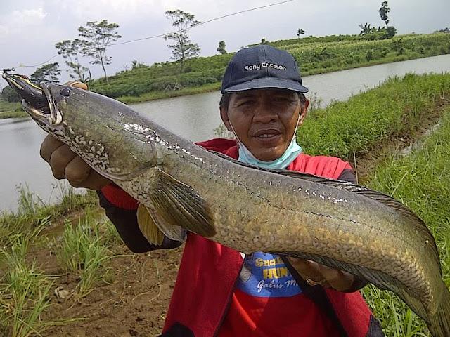 Umpan Pancing Ampuh Ikan Gabus