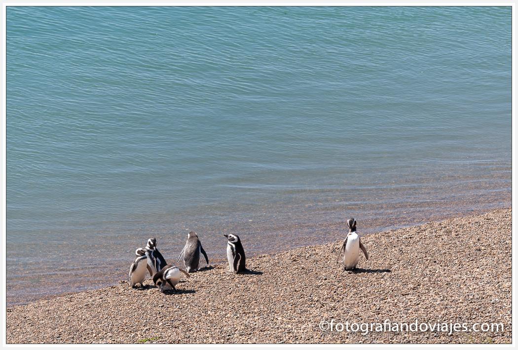 Pinguinos de magallanes en Península Valdés