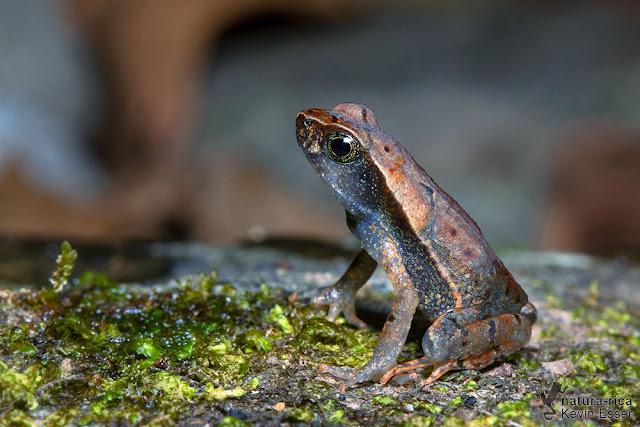 Rhaebo haematiticus - Leaf Litter Toad