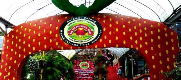 Big red strawberry farm