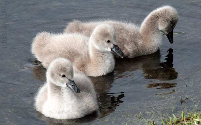 Black swan cygnets - too cute for words!