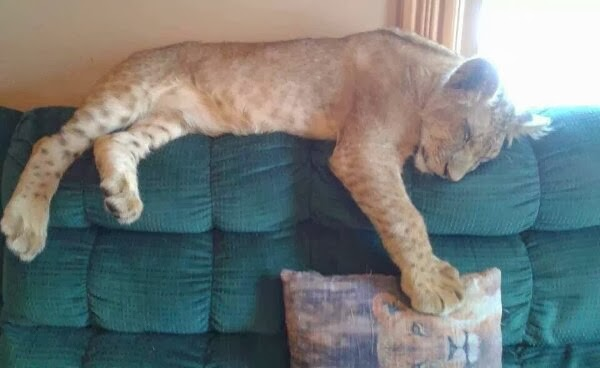 Funny animals of the week - 21 February 2014 (40 pics), baby lion sleeps on the couch