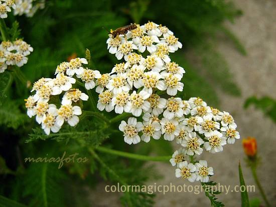 Yarrow flower-close up picture